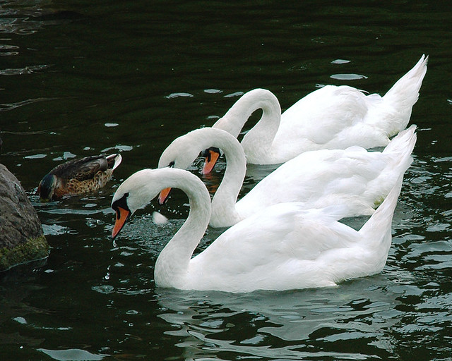 Syncronised Swans