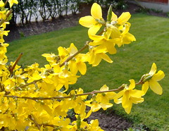 forsythia  photo