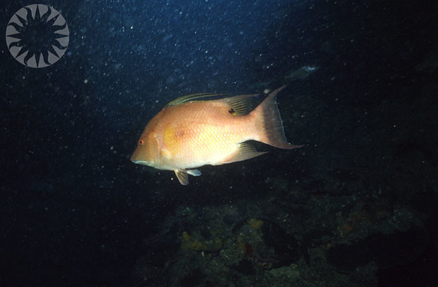 Spanish hog fish underwater flickr photo sharing for Fish in spanish