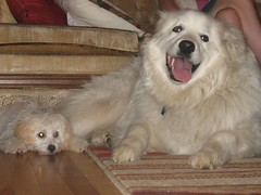 dog breed, animal, dog, pet, slovak cuvac, carnivoran, great pyrenees, samoyed,