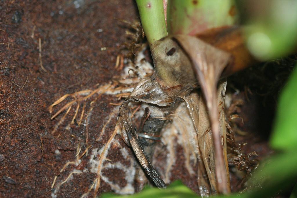 Neoregelia roots