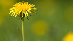 Dandelion with Spider