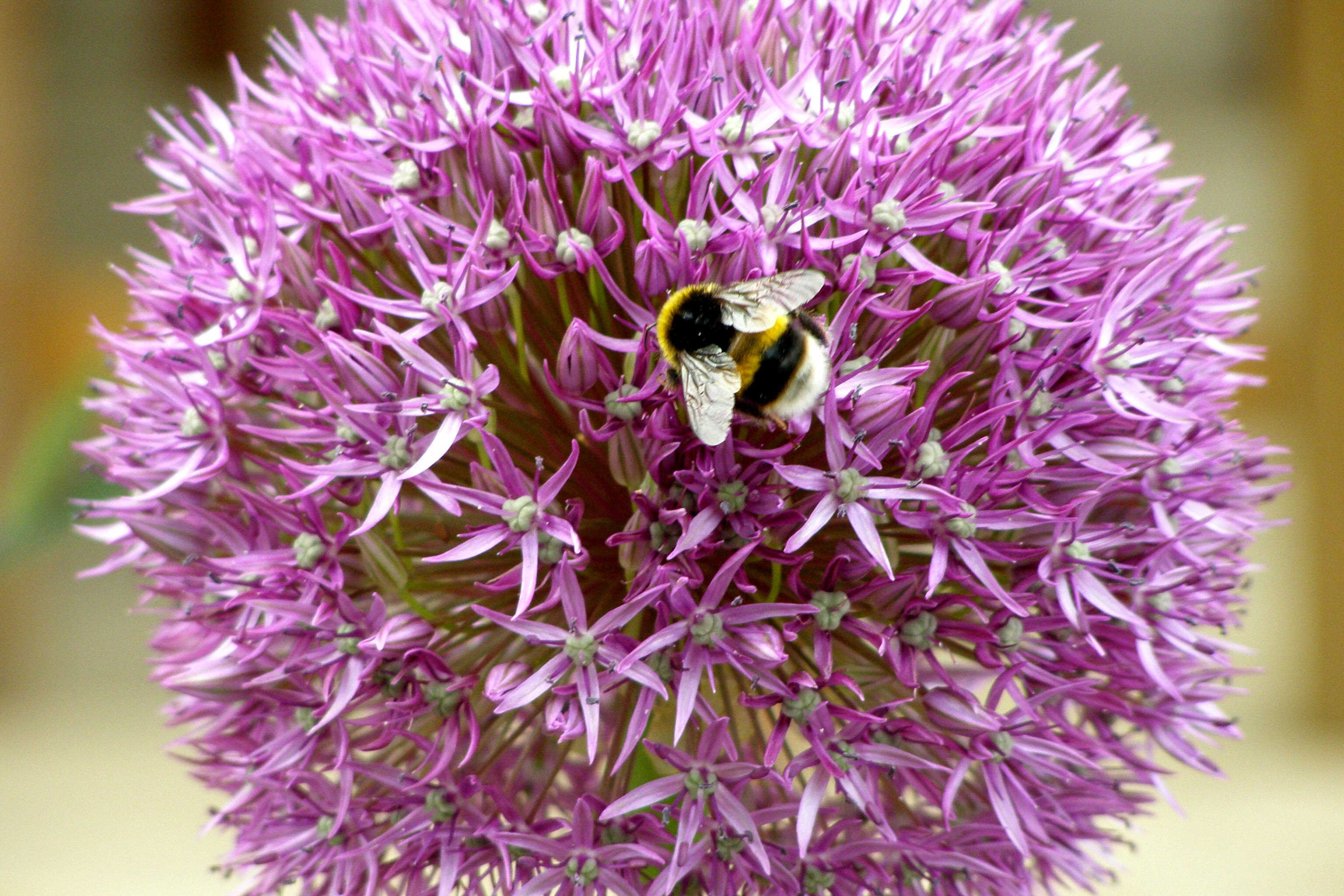 Garlic Flower and Bee