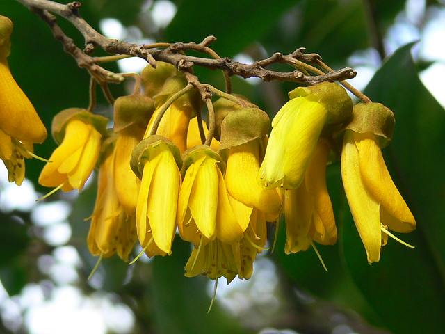 Kowhai flowers, Wenderholm, New Zealand