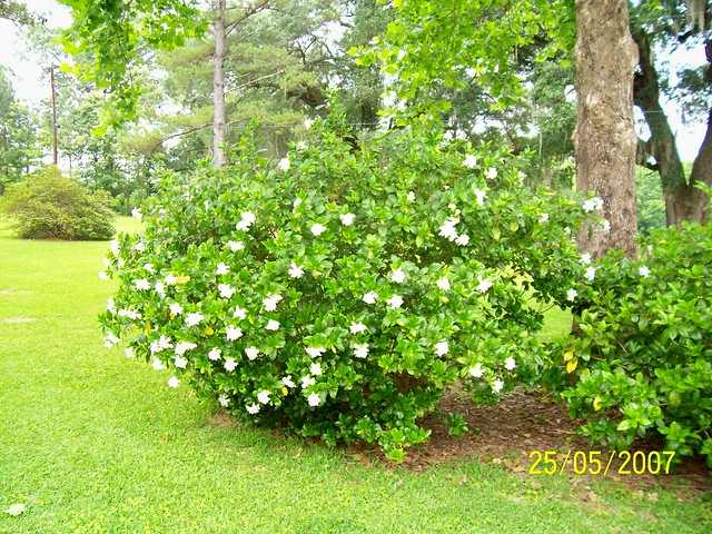 Gardenia Bush http://www.flickr.com/photos/58476199@N00/513673060/
