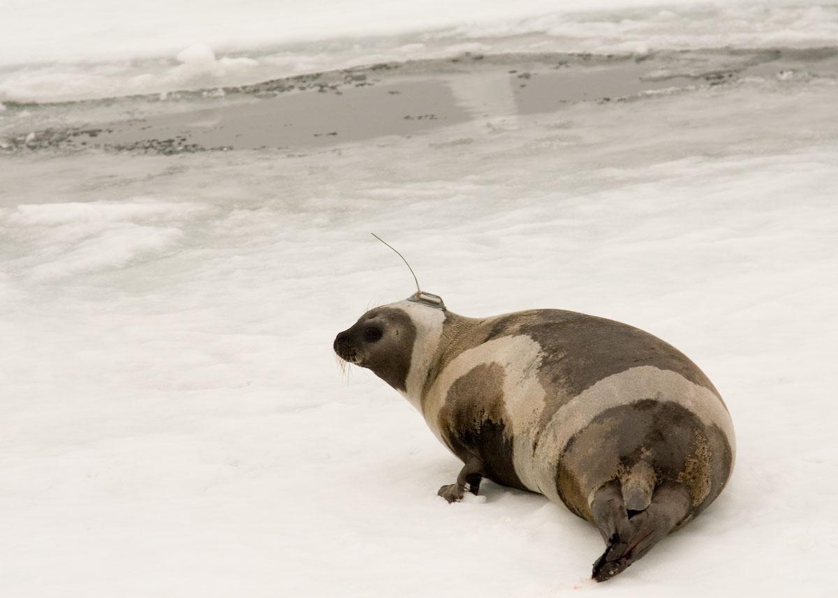 Секс с тюленем 5 фотография