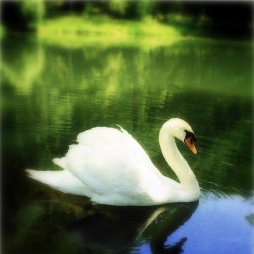 Swan.Polaroid