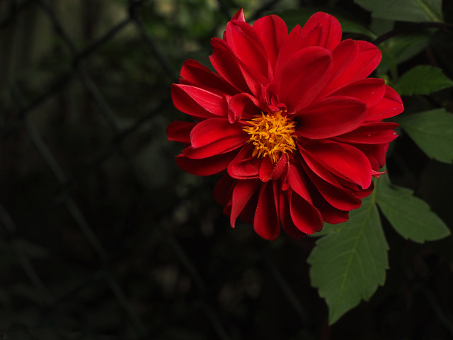 Red flower with dark background
