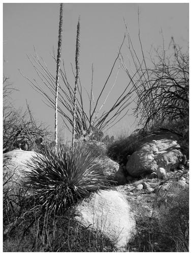 nature landscape blackwhite wildliferefuge yuccaplant perpsective donotcopy mountainlioncountry oraclestatepark fujifilmfinepixs5700 oracleazusa beawareofsurroundings easytomoderatehikingrequired kannallyfamilycattleranch easytomoderatehiking