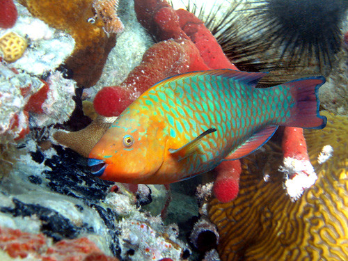 468364441 for Rainbow parrot fish