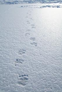 Bear prints