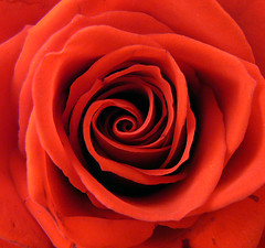 striving to unravel the rose mystery