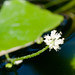 Brazilian Pennywort Flower