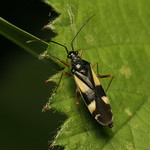 sárgafoltos mezeipoloska - Dryophilocoris flavoquadrimaculatus