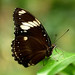 Great Egg-Fly Butterfly (Hypolimnas bolina)