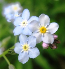 flower, plant, herb, wildflower, flora, forget-me-not,
