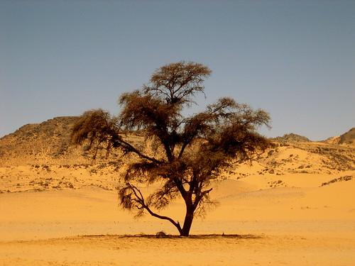 Acacia tree, Karkur Talh