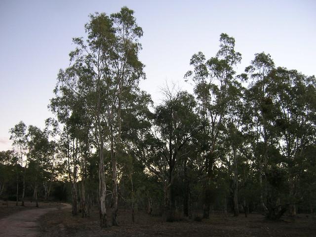 Eucalyptus Camaldulensis River