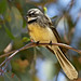 Gray Fantail - Photo (c) Julian Robinson, some rights reserved (CC BY-NC)