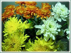 Chysanthemums in yellow, white and tangerine