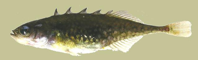 brook stickleback (Culaea inconstans)