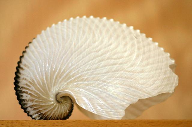 paper nautilus   Flickr - Photo Sharing!