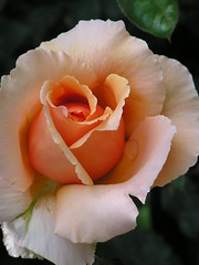 Rose with Dew Drop