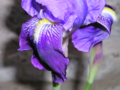 iris(0.0), human body(0.0), eye(0.0), organ(0.0), iris(1.0), flower(1.0), iris versicolor(1.0), purple(1.0), violet(1.0), lavender(1.0), macro photography(1.0), flora(1.0), close-up(1.0), plant stem(1.0), petal(1.0),