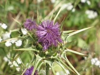 Purple flower (& bug)_0995