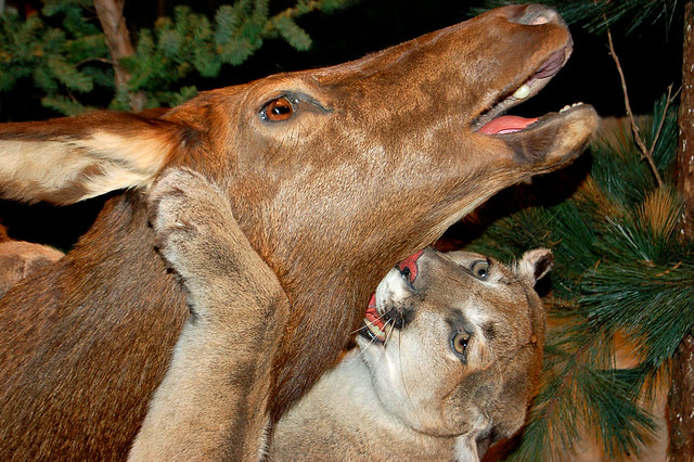 Mountain Lion attacking deer-taxidermy close | Flickr ...