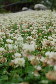 sea of clovers