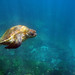 Pacific Green Sea Turtle by David Thyberg