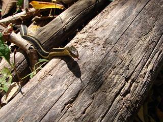 Snake in woods at David Dunlap Observatory