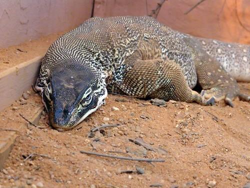 Varanus gouldii | The Reptile Database
