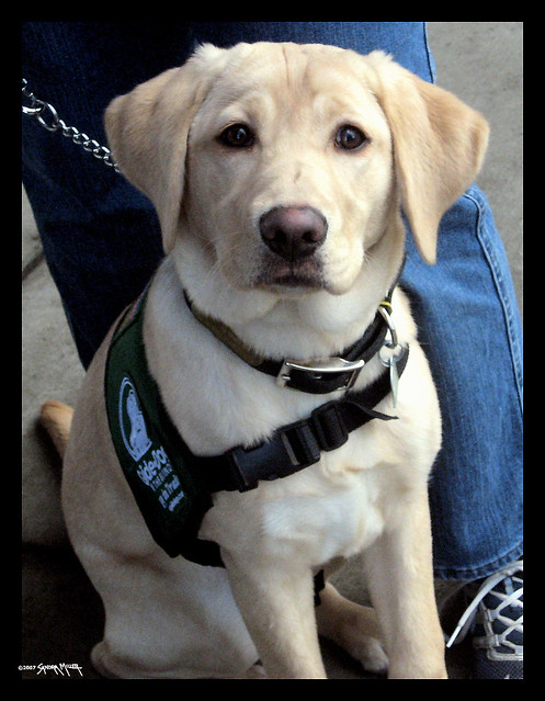 Guide dogs for the blind - photo#23