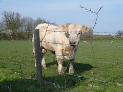 Taureau Charolais | Bull from the Charolais