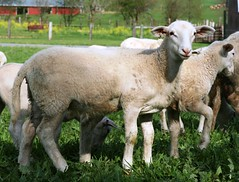 Nice ewe lamb