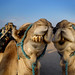 Camels' gurning contest