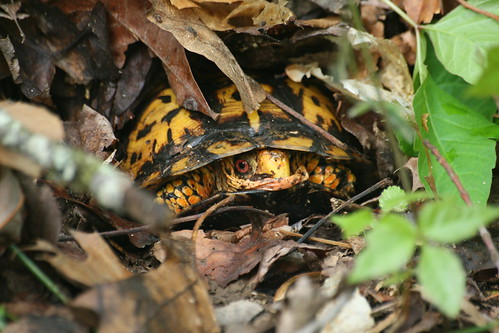 Eastern box turtle, Terrapene carolina
