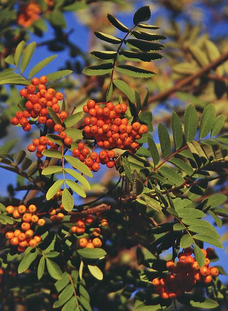 Tree with orange berries flickr photo sharing