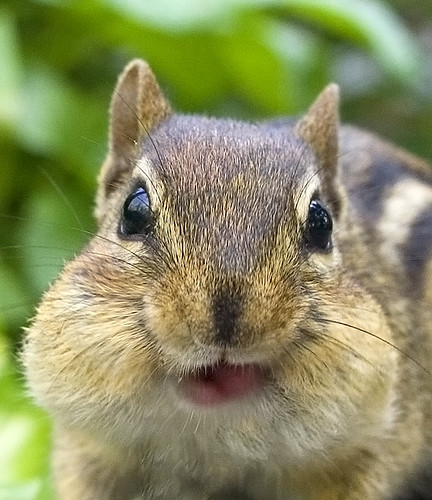 Chubby Checks (Chipmunk)