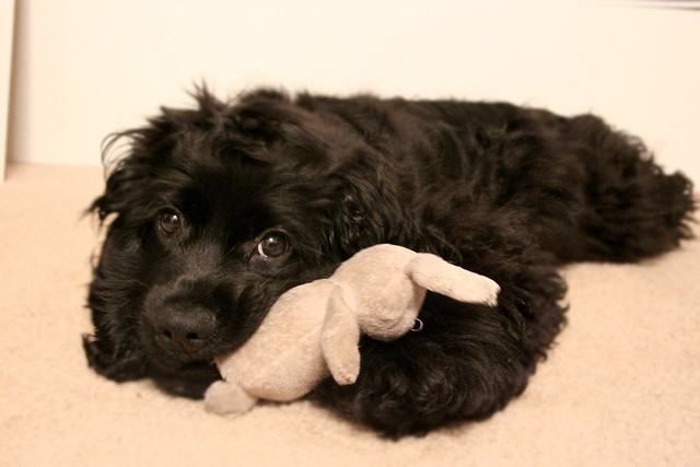 Cocker Spaniel Puppies | Cuddly Cutelings