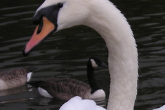 black swan(0.0), animal(1.0), water bird(1.0), swan(1.0), wing(1.0), fauna(1.0), close-up(1.0), beak(1.0), bird(1.0),