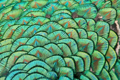 Peacock Feathers I