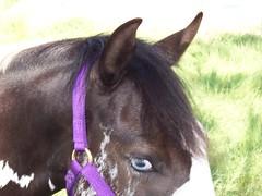 animal, mane, mare, rein, halter, bridle, pack animal, horse tack, horse,