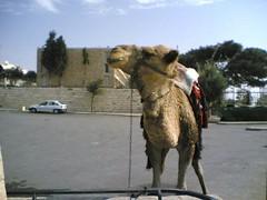 Camel on Mount Olive