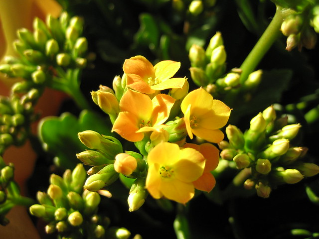 Yellow Flower, Canon IXY DIGITAL 50