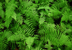 vascular plant, fern, leaf, plant, green, forest, ostrich fern, biome, vegetation,