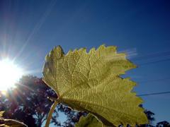 Grape Leaf... Illuminated