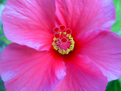 annual plant, flower, plant, malvales, macro photography, flora, chinese hibiscus, pink, petal,
